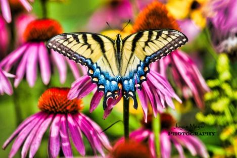 a-Eastern tiger swallowtail jm