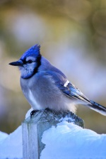 Blue Jay with feathers puffed up to keep warm looking for food by Spillville