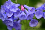 bluebells sc