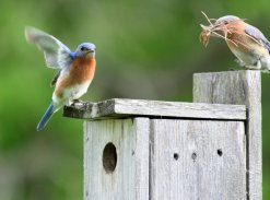 bluebird couple picked out their new houseIMG_5509esf