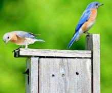 bluebird family, baby peeking out of nesting boxsf