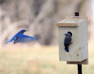 bluebirdsat my home in Spillville IAsf