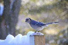 Bluejay on deck gets yet another shower of snow from trees above.