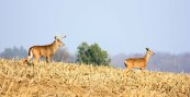 Buck and a doe out for a stroll by Decorah