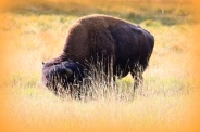 buffalo at yellowstone