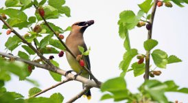 Cedar Waxwing with fruit from a spring treesf