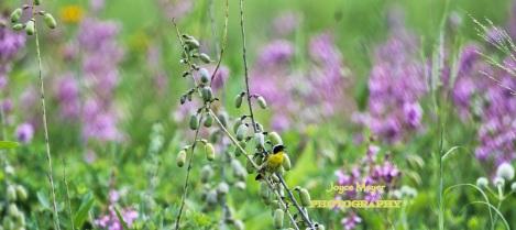 Common Yellowthroatjm
