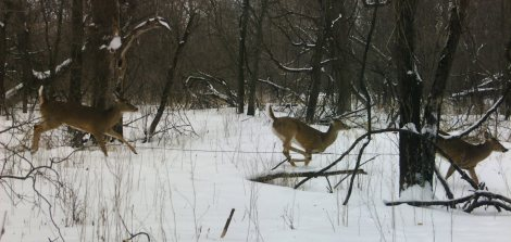 Deer crossing a fence along Wonder Creek in Spillville after the snow fall.