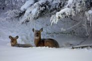 Deer waking up in hoar frost