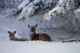 Deer in hoar frost sf