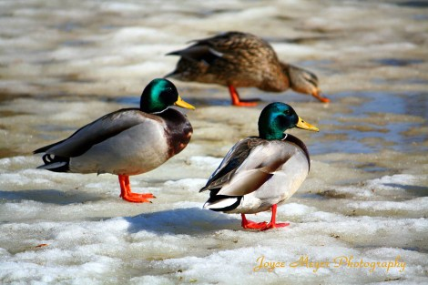 Mallard ducks sf