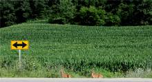 fawns on Co RD B16