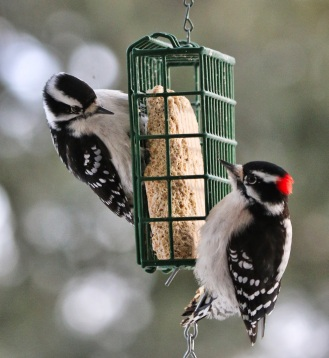 Female and male downy woodpeckers at my suet feeder. Suet is a great energy food for birds.