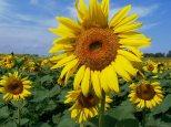 field of sunflowerssf