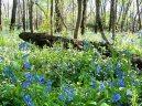 field spring bluebellssf