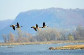 Canada geese migrating on the Mississippi