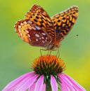 Great sprangled fritillary