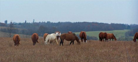 Horses in foggy field