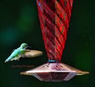 hummingbird at my feeder