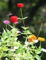 hummingbird in my zinniassf