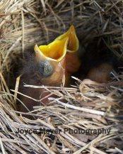 hungry baby bluebird sf