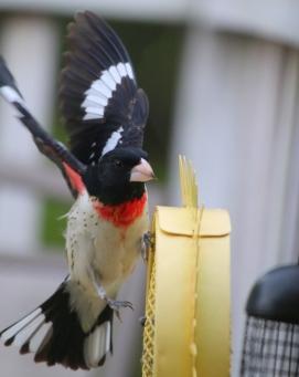 IMG_0422male red breasted grosbeak