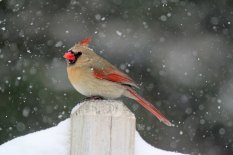 IMG_3217 female cardinal small file2