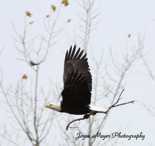 IMG_7758Decorah eagle with stick by Joyce Meyersc