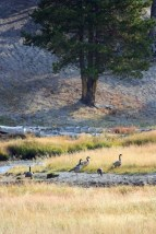 Canada Geese WY