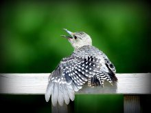 young flicker