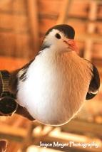 James raises champion fancy pigeonsjm