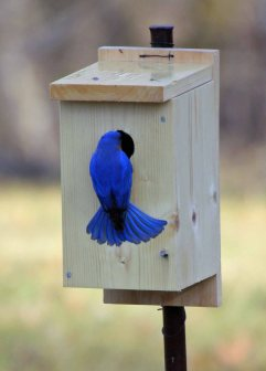 Male bluebird finding nesting box sf