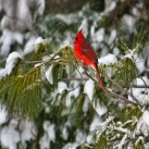 male cardinal in our snowy pine trees