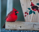 Male cardinal knows where to find his feeder at my home Wed jan 7