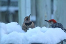 male Northern flicker and male red-bellied woodpecker at birdbath at dawn getting a drink.