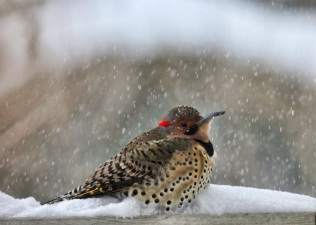 Male Northern Flicker braves the snow and cold.