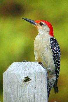 male red-bellied woodpecker in summersf