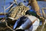 Mallard ducks sc