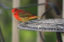 migrating summer tanager (2)