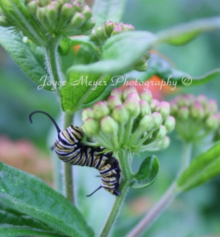 Monarch caterpillarsc