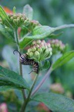 Monarch Caterpillarsf