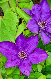 my purple clematisjmsf