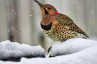 Northern flicker at heated birdbath getting a drink- In the dead of the winter birds are in need of water since creeks and rivers are froze over.