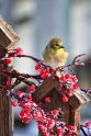 Our State bird the American Goldfinch loves sunflower seeds