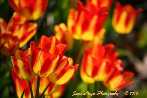Pella Tulipssc