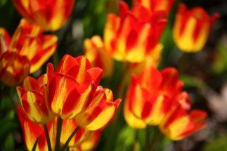 Pella Tulipssf
