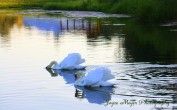 swans in farm pondsc