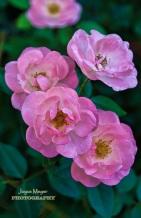traditional rose bushjm