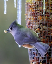 Tufted-titmouse grabs seeds from a feeder on a cold winter day