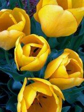 tulips sf